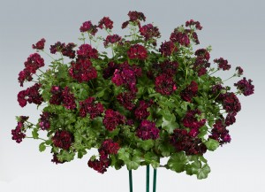 Geranium ivy leaf tommy - How to care for ivy geranium ...